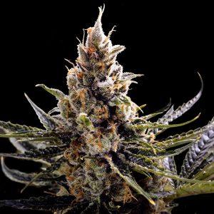 andinotech-marihuana-kosher-tangie-dna-genetic