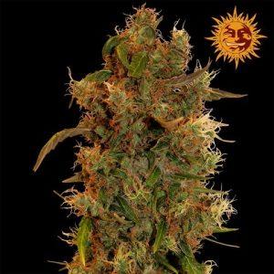 andinotech-marihuana-8-ball-kush