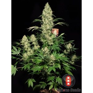 andinotech-marihuana-ak-47