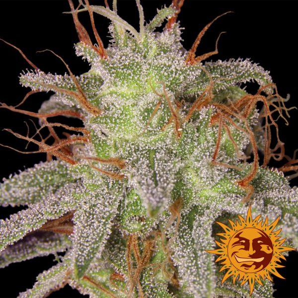 andinotech-marihuana-amnesia-lemon