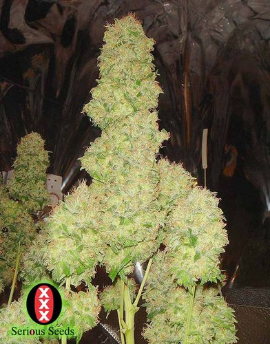 andinotech-marihuana-white-russian-auto-serious-seeds