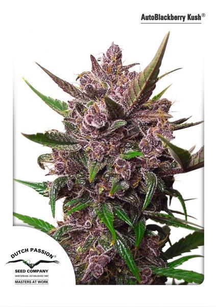 andinotech-marihuana-blackberry-kush-auto
