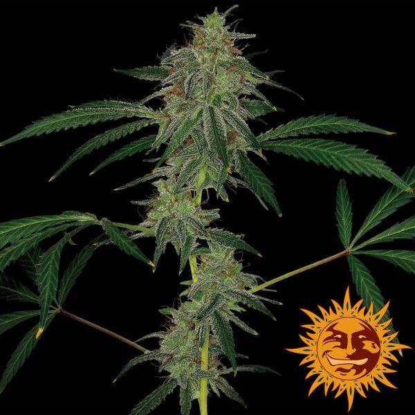 andinotech-marihuana-blue-mammoth-auto