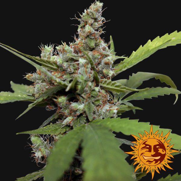 andinotech-marihuana-blue-shark-cbd