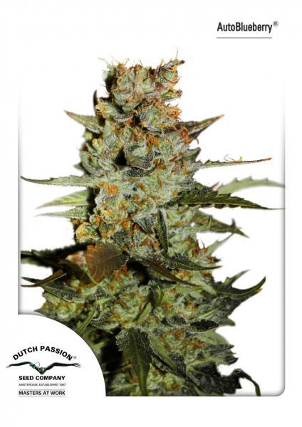 andinotech-marihuana-blueberry