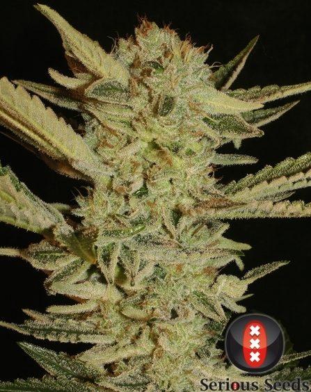 andinotech-marihuana-bubblegum
