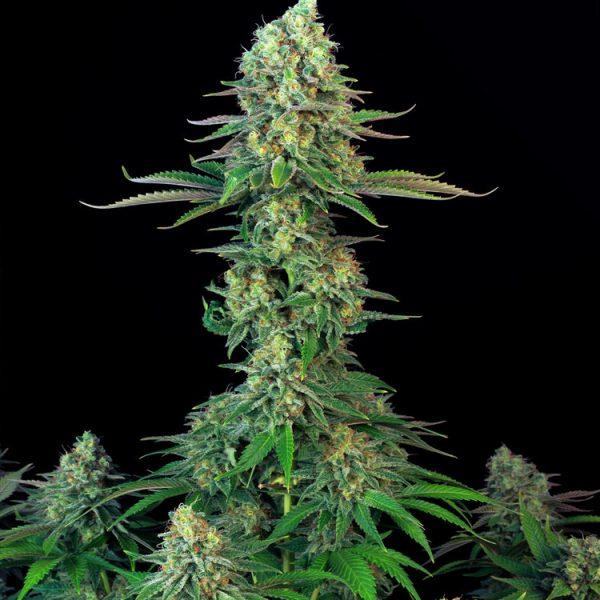 andinotech-marihuana-bubblegum-t-h-seeds