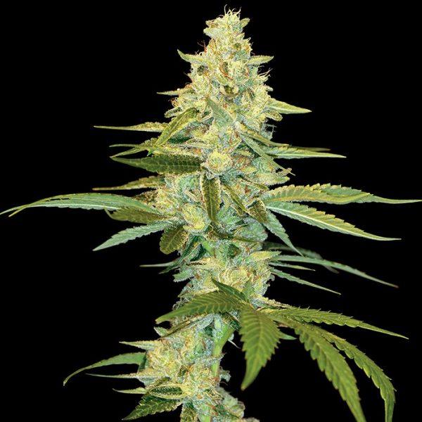 andinotech-marihuana-cannalope-kush-dna-genetics