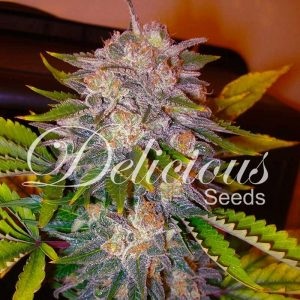andinotech-marihuana-caramelo-delicious-seeds