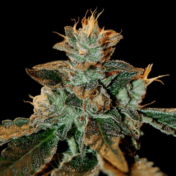andinotech-marihuana-cataract-kush-dna-genetics