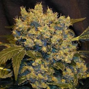 andinotech-marihuana-chronic-serious-seeds