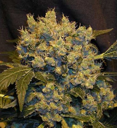 andinotech-marihuana-chronic-serious-seeds