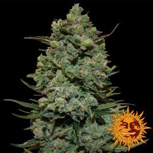 andinotech-marihuana-cookies-kush