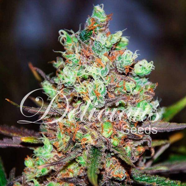 andinotech-marihuana-cotton-candy