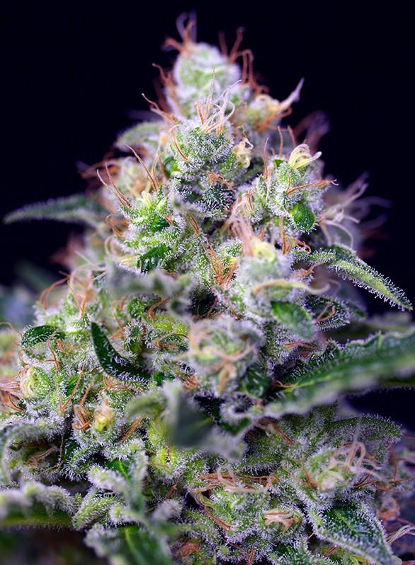 andinotech-marihuana-cream-caramel