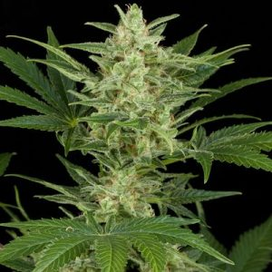 andinotech-marihuana-critical-jack-auto