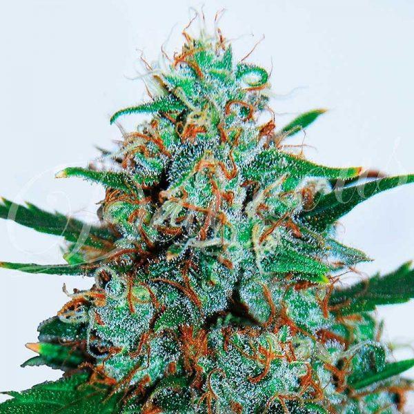 andinotech-marihuana-critical-neville-haze