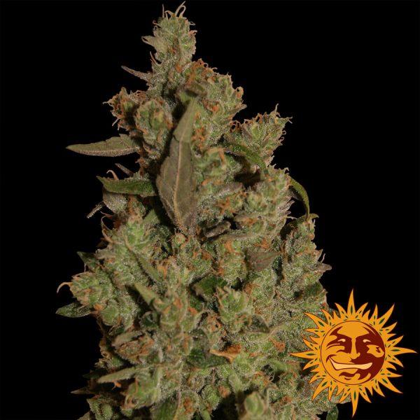 andinotech-marihuana-critical-cure-cbd