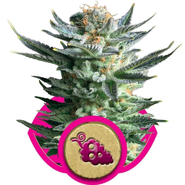 andinotech-marihuana-fruit-spirit-royal-queen-seeds
