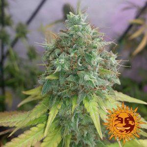 andinotech-marihuana-g13-haze