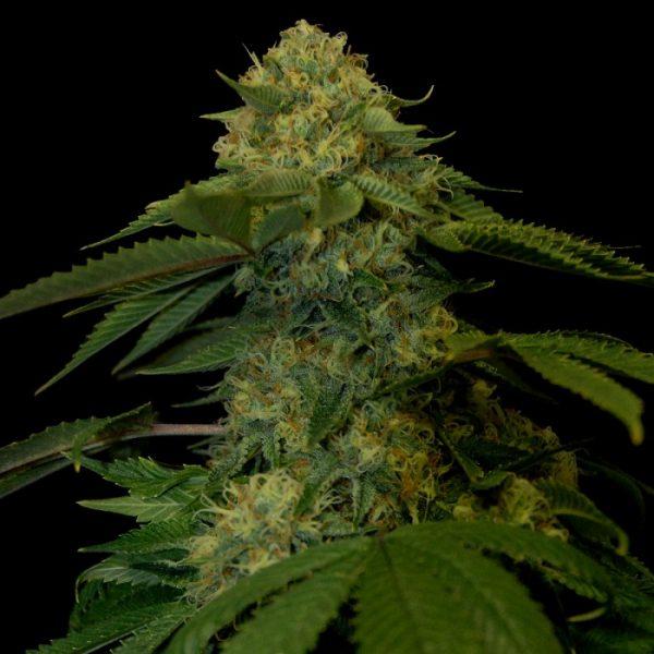 andinotech-marihuana-holy-grail-kush-dna-genetics