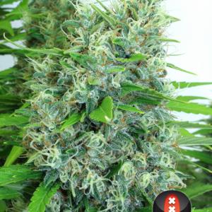 andinotech-marihuana-kali-mist-serious-seeds