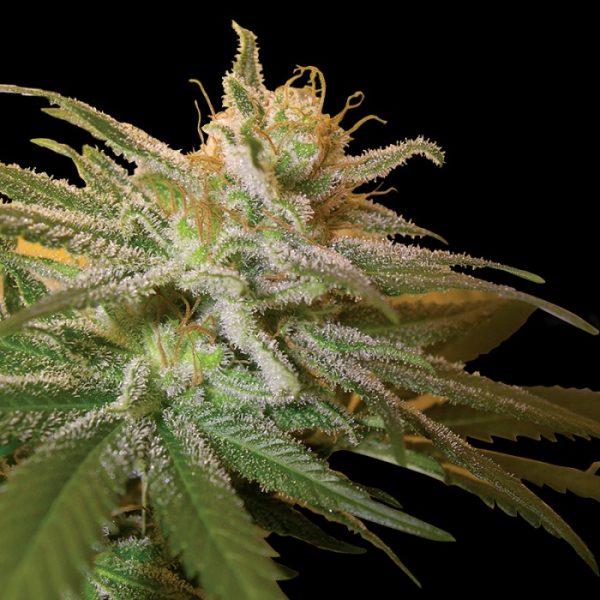 andinotech-marihuana-kushberry-dna-genetics
