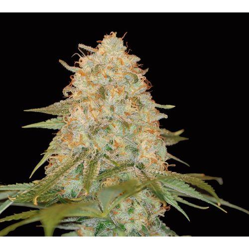 andinotech-marihuana-la-cholat-dna-genetics