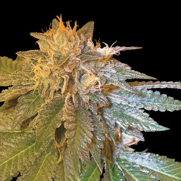 andinotech-marihuana-la-confidential-dna
