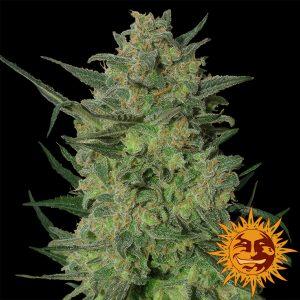 andinotech-marihuana-lsd-barneys-farm