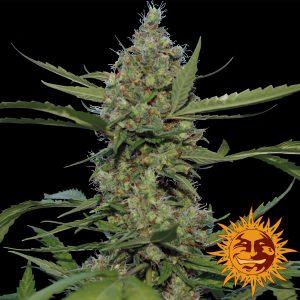 andinotech-marihuana-laughing-buddha