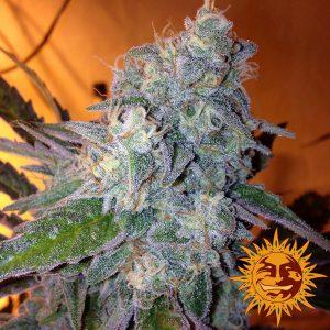 andinotech-marihuana-liberty-haze