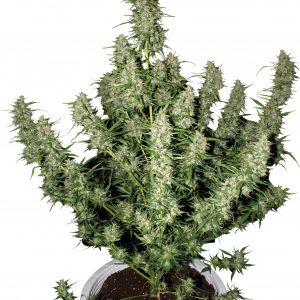 andinotech-marihuana-magnum-buddha-seeds