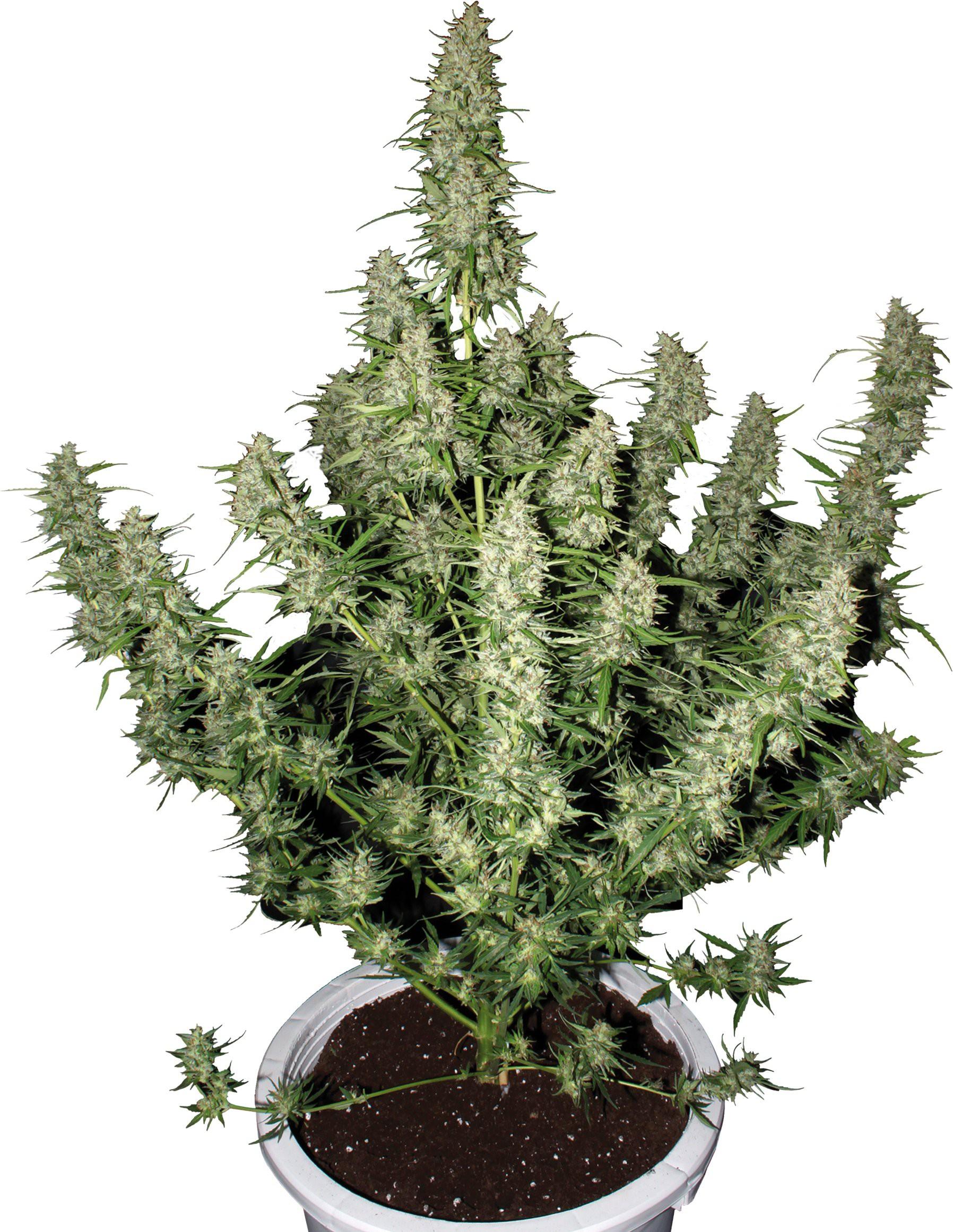 Семена 40 дневки конопляные каков эффект от марихуаны