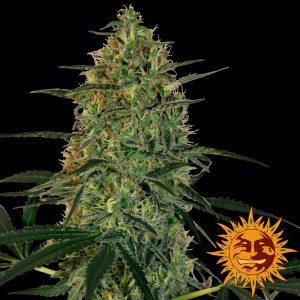 andinotech-marihuana-malana-bomb-auto