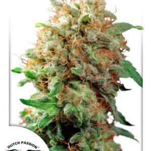 andinotech-marihuana-mazar-dutch-passion