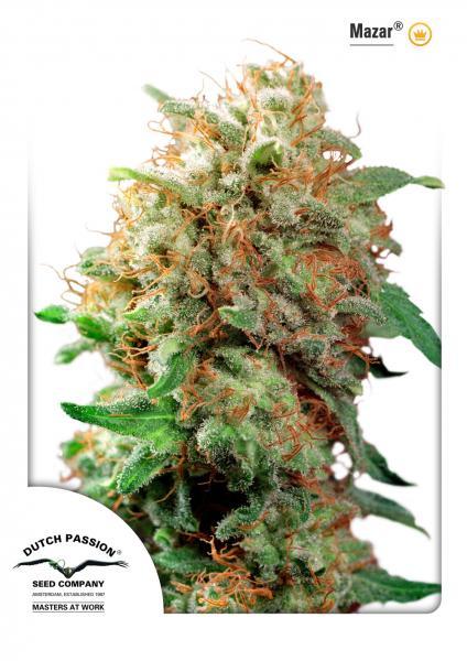 andinotech-marihuana-mazar-dutch-passion