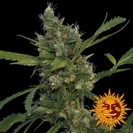 andinotech-marihuana-morning-glory-barneys-farm-seeds