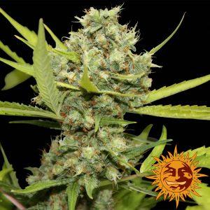 andinotech-marihuana-pineapple-chunk