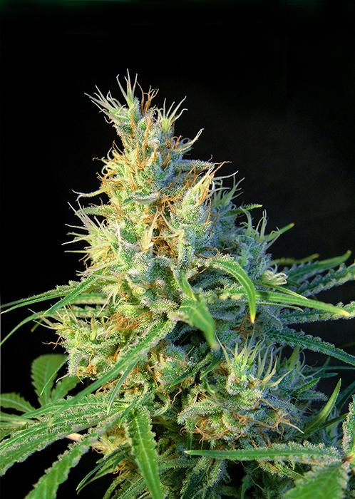 andinotech-marihuana-piscodelicia-sweet-seeds