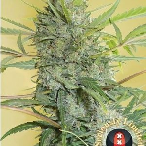 andinotech-marihuana-serious-happiness