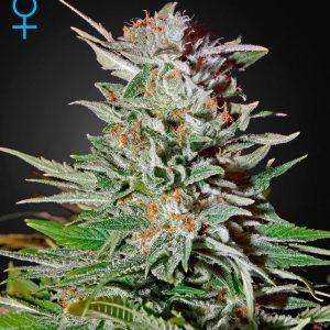 andinotech-marihuana-super-lemon-haze-auto