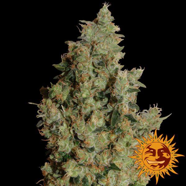 andinotech-marihuana-tangerine-dream