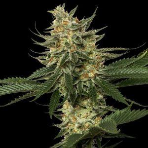 andinotech-marihuana-tangie-dna-genetics