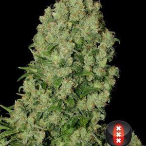 andinotech-marihuana-white-russian