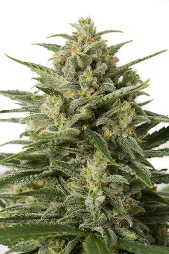 andinotech-marihuana-white-widow