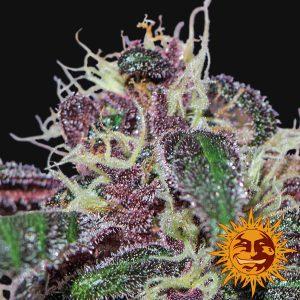 andinotech-marihuana-ayahuasca-purple