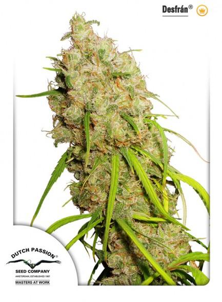 andinotech-marihuana-desfran-dutch-passion