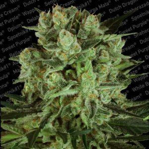 andinotech-marihuana-durga-mata-ii-cbd