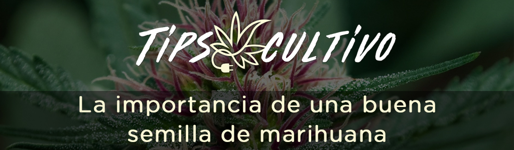 La importancia de una buena semilla de marihuana